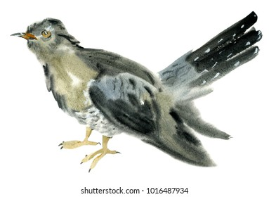 Handwork watercolor illustration of a cuckoo bird in white background