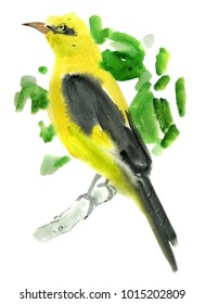 Handwork watercolor illustration of a golden oriole bird in white background.