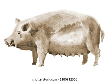 Handwork watercolor illustration of a pig. Sepia