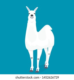 A happy llama smiles and shows her teeth. Cute alpaca  cartoon character front view
