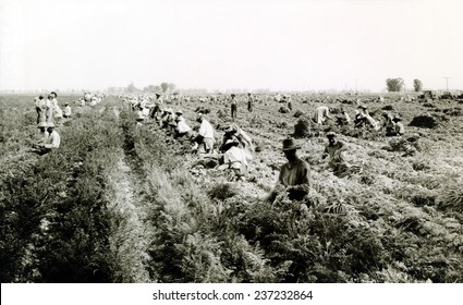Harvesting carrots in El Centro California Many Dust Bowl drought refugees found jobs as farm workers in California.