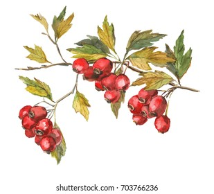 Hawthorn, whitethorn, haw, hawberry, crataegus, thornapple branch hand-drawn  watercolor botanical illustration. Branch with berries and leaves. Isolated object on a white background. Autumn harvest.