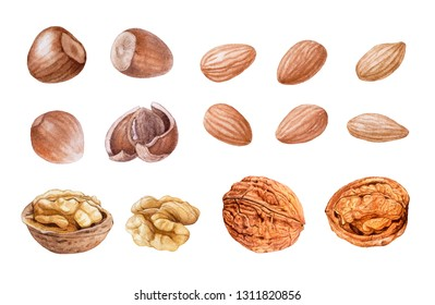 Hazelnuts, almonds, walnuts isolated on white background. Hand drawn watercolor illustrations.