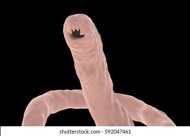Head of a parasitic hookworm Ancylosoma isolated on black background, 3D illustration. Ancylostoma duodenale can infect humans, dogs and cats, its head has several tooth-like structures