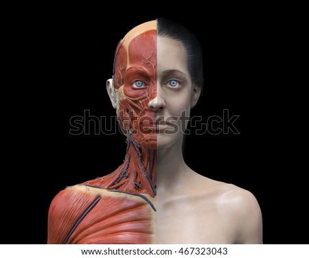 Head Torso Anatomy Female Human Head Stock Illustration 467323043