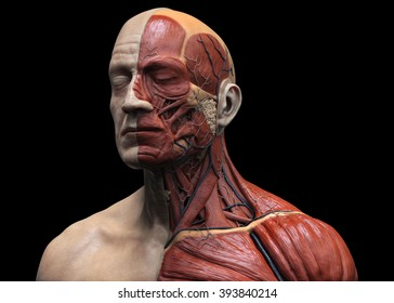 Head and torso anatomy  , Human head and shoulder muscular anatomy in 3D render in black and white , medical reference images of the human anatomy