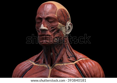 Head Torso Anatomy Human Head Shoulder Stock Illustration 393840181
