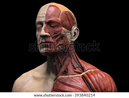Royalty Free Stock Illustration of Head Torso Anatomy Human Head ...