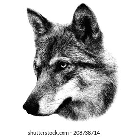 The head of wolf, isolated on white background. Side face portrait of the forest dangerous, but beautiful beast, Canis lupus lupus. Amazing grayscale image. Great for user pic, icon, label, tattoo.