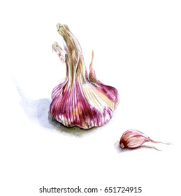 Head young garlic and clove. Sketch. Watercolor hand drawing illustration, isolated