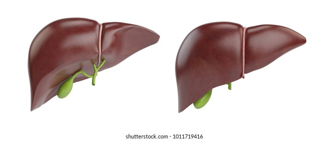 Healthy human liver with gallbladder isolated on white background. 3d illustration