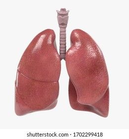 Healthy Human Lungs, 3d render of human lungs isolated on white