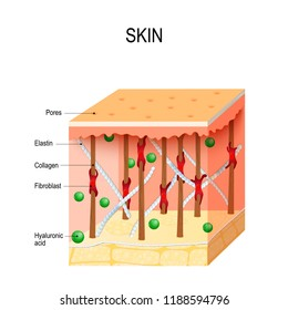 healthy human skin with collagen and elastin fibers, fibroblasts and Hyaluronic acid. diagram