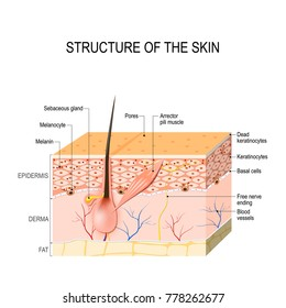 Healthy Human Skin. hair follicle, cell structure and layers. illustration for your design and medical use. human anatomy.