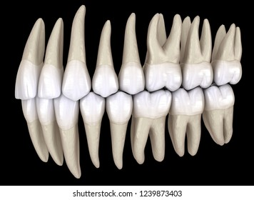 Healthy human teeth with normal occlusion from side view. 3D Illustration