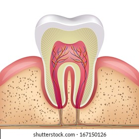 Healthy white tooth, gums and bone illustration, detailed anatomy
