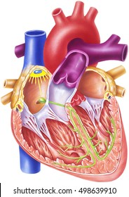 Heart - Conduction System