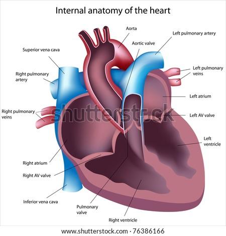 Heart Cross Section Labeled Stock Illustration 76386166 Shutterstock