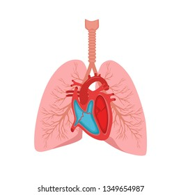 Heart and lungs. Internal organs in a male human body. Anatomy of people.Part of the human heart.Diastole and systole.Filling and pumping of Human Heart structure anatomy anatomical diagram. bitmap