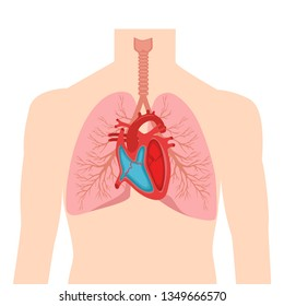 Heart and lungs. Internal organs in a male human body. Anatomy of people.Part of the human heart. Diastole and systole.Filling and pumping of Human Heart structure anatomy anatomical diagram. bitmap