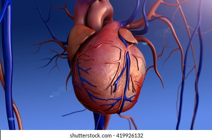 Heart model, 3D rendering of Human heart model,Human heart for medical study