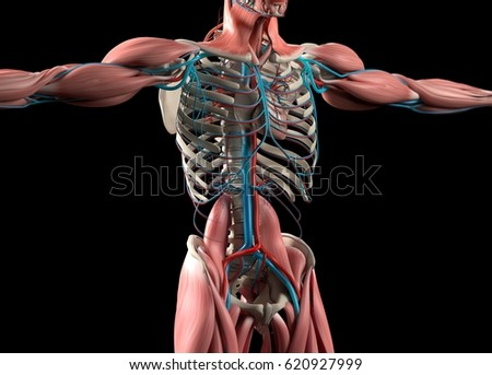 Heart Vascular System Human Anatomy 3 D Stock Illustration 620927999