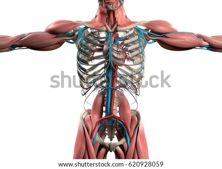 Royalty Free Stock Illustration Of Heart Vascular System Human