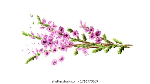 Heather flowers. Watercolor hand drawn illustration isolated on white background