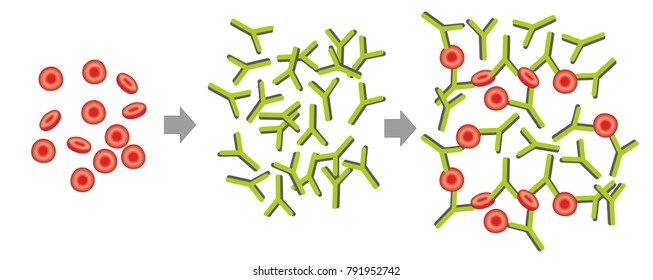 In hemagglutination antibodies bind red blood cells to form a clump. Agglutinations are used in laboratory assays.