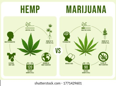 Hemp vs Marijuana infographics. Cannabis leaf, low and hight THC  illustration. Modern banner or poster template with comparison of legal and illegal plant cultivars. Weed types distinction.