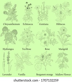 Herbal. Illustration of a plants in a vector with flower for use in decorating, creating bouquets, cooking of medicinal and herbal tea. Also for coloring book or for studying botanical properties.