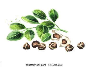 Herbal Moringa leaves with seeds. Watercolor hand drawn illustration, isolated on white background