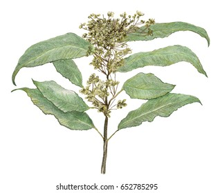 Herbs. Lemon Myrtle bush tucker, culinary, medicinal, leaves and spent flowers on branch. Drawing.