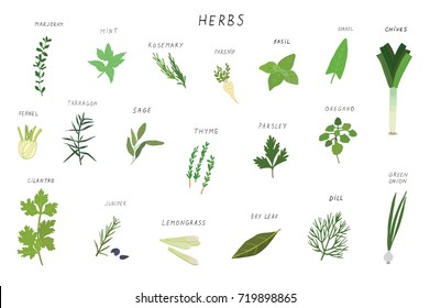 Herbs spices green illustrations set.