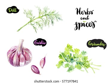 Herbs and spices kitchen watercolor set. Dill, garlic, coriander watercolor hand draw illustration isolated on white background.