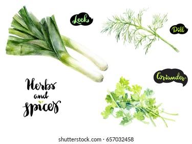 Herbs and spices kitchen watercolor set. Leek, coriander, dill watercolor hand draw illustration isolated on white background.
