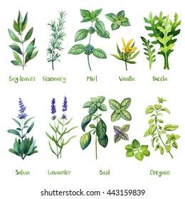 Herbs. Watercolor illustration. Bay leaves, Rosemary, Mint, Vanilla, Rucola, Arugula, Salvia, Lavander, Basil, Oregano.