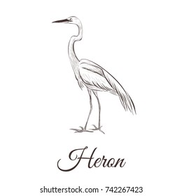 Heron is a sketch drawing. Bird series hand drawing heronillustration.