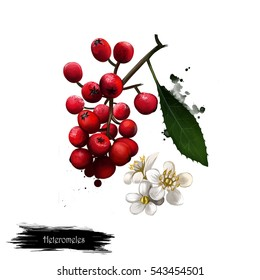Heteromeles fruit isolated on white. Digital art watercolor illustration. Heteromeles arbutifolia or toyon, perennial shrub. Sole species in genus Heteromeles. Christmas berry or California holly