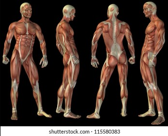 High resolution concept or conceptual human or man 3D anatomy body with muscle isolated on black background as metaphor to medicine, sport, male, muscular, medical, health, biology fitness group set