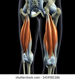 Hip Bones and Hamstring Muscles Isolated, Male Posterior 3D Rendering on Black