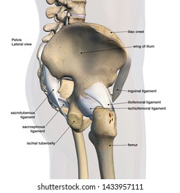 hip bones and ligaments, labeled side view 3d rendering