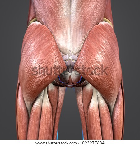 Hip Joint Muscle Anatomy Skeleton Arteries Stock Illustration