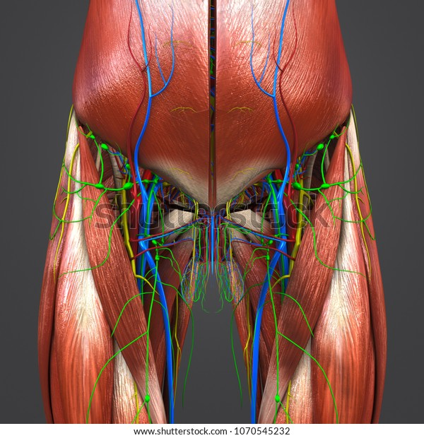 Hip Muscle Anatomy Arteries Veins Nerves Stock