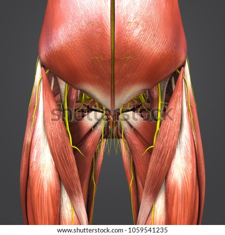 Hip Muscles Anatomy Nerves Anterior View Stock Illustration