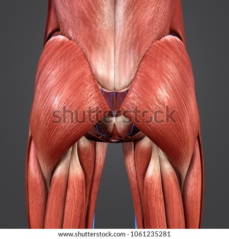 Hip Muscles Anatomy Veins Posterior View Stock Illustration