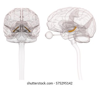 Hippocampus Brain Anatomy - 3d illustration