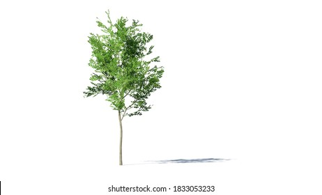 Hi-Resolution Beautiful 3D Trees Isolated with shadow on white background , Use for visualization in architectural design