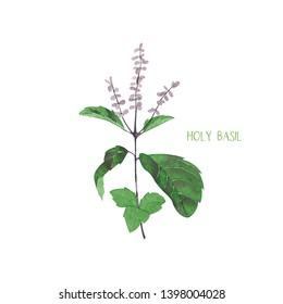 Holy basil. Culinary and medicinal herb. Watercolor botanical illustration.