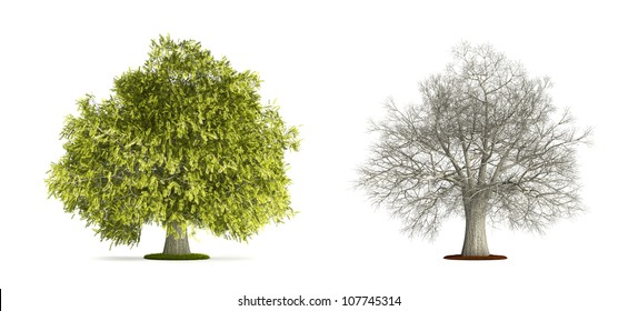 Honey Locust Tree. High resolution image isolated on white. More trees are available on our portfolio.